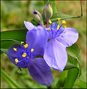 Spiderwort [Tradescantia sp.]