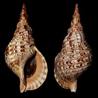 Type species: Charonia tritonis tritonis (Linnaeus, 1758)