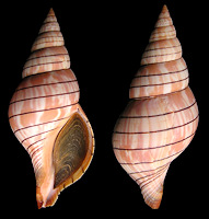 Cinctura hunteria Form (Gulf of Mexico)