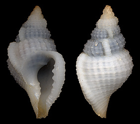 Distorsionella lewisi (Beu, 1978) - type species